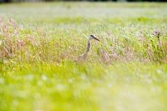 Sideview серого Ardea цапли cinerea в траве Стоковые Изображения RF