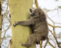 Sideview of an adult baboon climbing an Acai Tree Royalty Free Stock Photography