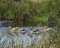 Sideview av fyra vita pelikan som simmar i ett vattenhål med en delvist doppad flodhäst i bakgrunden Royaltyfria Bilder