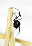 Sideview of black widow spider. Side view of a beautiful and deadly female black widow spider, Latrodectus hesperus, with visible bright red hourglass shape Royalty Free Stock Images