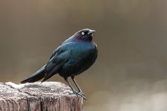 Sideview of brewer`s blackbird in Idaho. Royalty Free Stock Photos