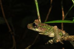 A sideview of a brown and green tree frog of the genus Osteocephalus, on a small branch stock images