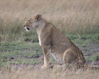 Sideview closeup av lejoninnasammanträde på jordse rakt framåt Fotografering för Bildbyråer