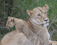Sideview closeup of lioness lying in grass with cub climbing her side Stock Photos