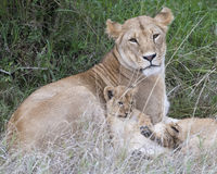 Sideview closeup of lioness lying in grass with cub resting on her side Stock Photos
