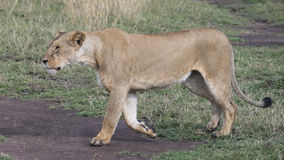 Sideview closeup of a lioness walking through short green grass Royalty Free Stock Photos