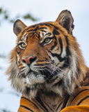 Sideview  closeup of a Royal Bengal Tiger. Sideview of a Royal Bengal Tiger & x28;panthera tigris& x29 Stock Photography
