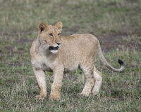 Sideview Closeup of young lioness standing in green grass Stock Photography
