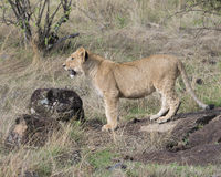 Sideview closeup of a young lioness standing looking forward with a snarl Royalty Free Stock Images