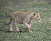 Sideview Closeup of young lioness walking in green grass Royalty Free Stock Photos