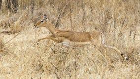 Sideview corriente del impala femenino Fotografía de archivo