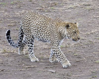 Sideview d'un léopard adulte simple marchant en saleté regardant en avant Image libre de droits