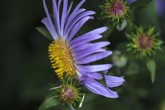 Sideview da flor alpina do áster Fotografia de Stock