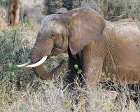 Sideview de alimentación del elefante Imágenes de archivo libres de regalías