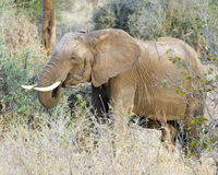 Sideview de alimentación del elefante Foto de archivo