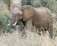 Sideview de alimentación del elefante Foto de archivo libre de regalías