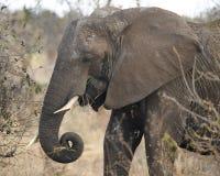 Sideview de alimentación del elefante Fotografía de archivo libre de regalías