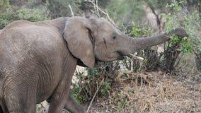 Sideview de alimentación del elefante Imagen de archivo