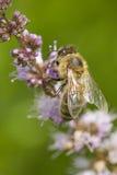 Sideview de la abeja en la flor Imágenes de archivo libres de regalías