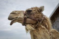 Sideview de la cabeza de los camellos Fotografía de archivo