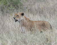 Sideview de lionne grondant se tenant dans l'herbe grande Photos stock