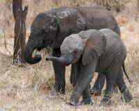 Sideview de marche de deux jeunes éléphants Photographie stock libre de droits