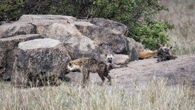 Sideview de una hiena que se coloca en una guarida de la roca con 3 hienas que mienten en el fondo Foto de archivo libre de regalías