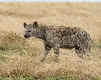 Sideview de una sola hiena que se coloca en hierba Imagen de archivo