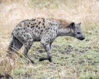 Sideview de una sola hiena que se coloca en hierba Foto de archivo