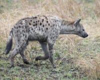 Sideview de una sola hiena que se coloca en hierba Imagen de archivo libre de regalías