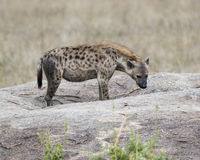Sideview de una sola hiena que se coloca en una roca Fotografía de archivo libre de regalías