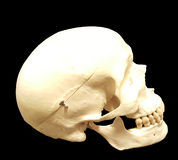 Sideview del cranio immagini stock libere da diritti