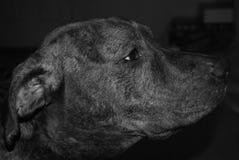 Sideview del laboratorio/de Pitbull imagenes de archivo