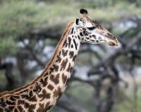 Sideview del primer de la cabeza y del cuello de una jirafa del Masai que anticipa con un pequeño pájaro en él cuello del ` s Fotografía de archivo libre de regalías