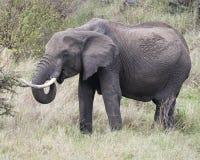 Sideview del primer de un elefante grande con los colmillos que come un arbusto Imagenes de archivo