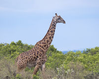 Sideview del primer de una jirafa del Masai que camina a través de altos arbustos con el cielo azul en el fondo Fotos de archivo libres de regalías