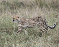 Sideview del primer del guepardo que camina a través de la hierba que mira adelante Fotos de archivo