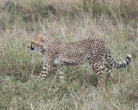 Sideview del primo piano del ghepardo che cammina attraverso l'erba che guarda in avanti Fotografie Stock