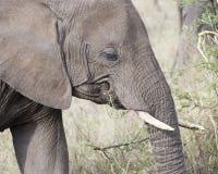 Sideview del primo piano della testa di un elefante adulto con le zanne che si alimenta erba alta Fotografia Stock