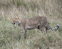 Sideview del primo piano di giovane ghepardo che cammina attraverso l'erba che guarda in avanti Fotografie Stock Libere da Diritti