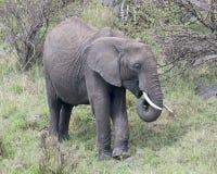 Sideview del primo piano di grande elefante con le zanne che mangia erba Fotografie Stock Libere da Diritti