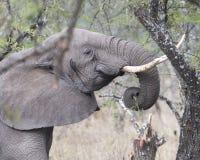 Sideview del primo piano di un elefante con le zanne che si alimenta un albero Immagine Stock Libera da Diritti