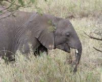 Sideview dell'elefante adulto che si alimenta erba alta Immagini Stock