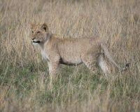 Sideview der jungen Löwin stehend im Gras, das in Richtung der Kamera blickt Lizenzfreies Stockfoto
