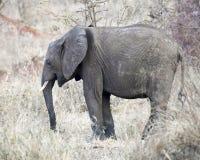 Sideview derecho del elefante joven Fotografía de archivo libre de regalías