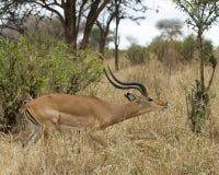 Sideview derecho del impala masculino Fotos de archivo libres de regalías