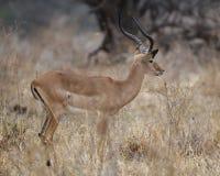 Sideview derecho del impala masculino Foto de archivo libre de regalías