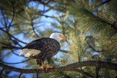 Sideview des Adlers in einem Baum Lizenzfreies Stockfoto