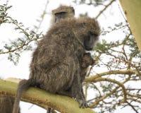 Sideview des erwachsenen Pavians sitzend in einem Acai-Baum mit dem Baby, das an hängt Stockbilder