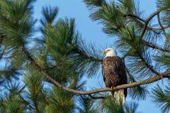 Sideview des Weißkopfseeadlers im Baum Stockfotos